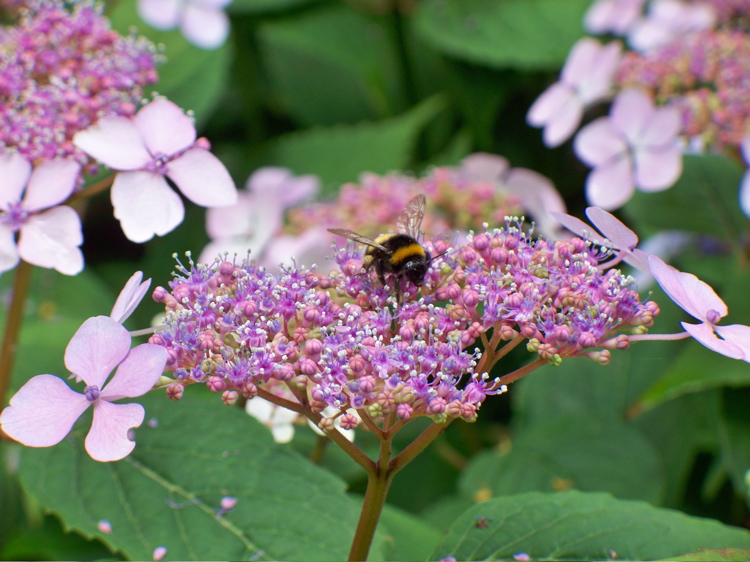 Brugges Bee