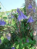 Aqualegia  Blue