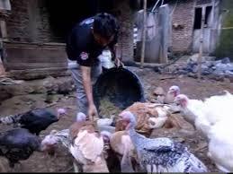 Makanan Ayam Kalkun Agar Cepat Besar Koran Agribisnis