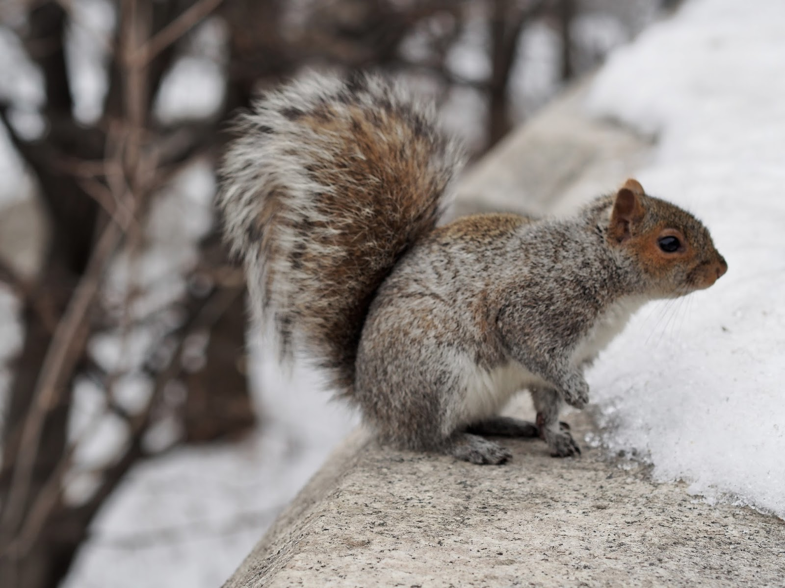 My Best Side #squirrel #Squirrels #wildlife #NYC #RiversidePark ©2015 Nancy Lundebjerg
