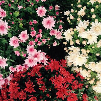 chrysanthemes