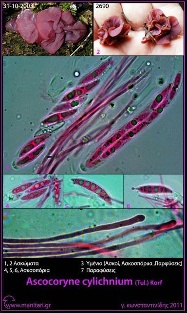 Ascοcοryne cylichnium (Tul.) Kοrf