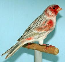Agata opal Rojo mosaico