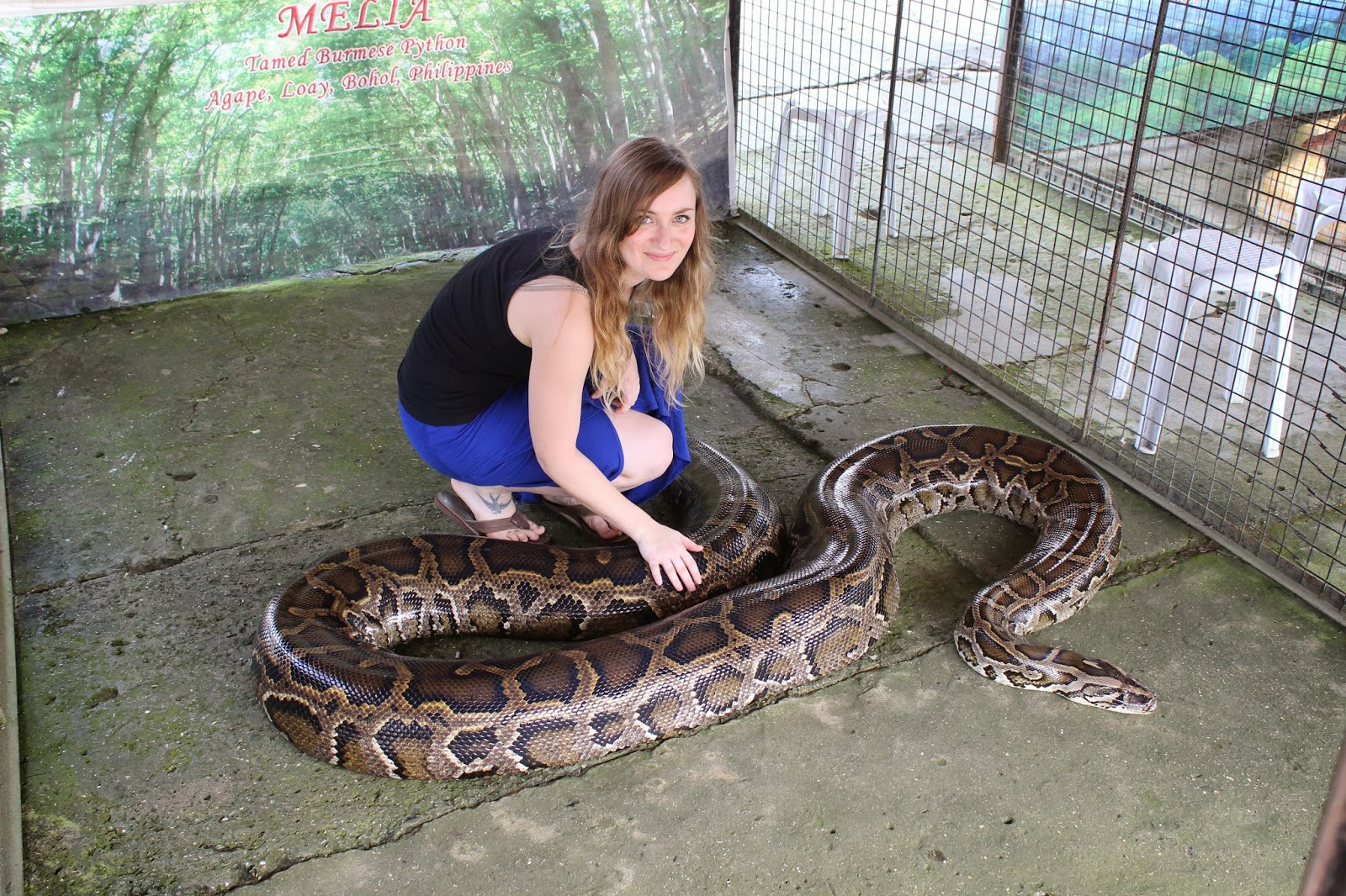 Displaying 20 gt  Images For - Largest Snake In The World Alive 2013   Largest Snake In The World 2013