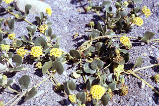 sand-verbena, Abronia, California coast