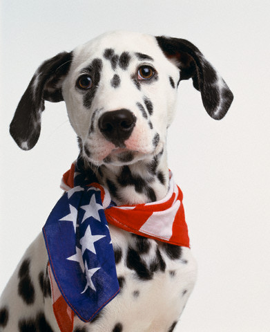 the dalmatian club of america has voted by 305 to 253 to greenlight ...