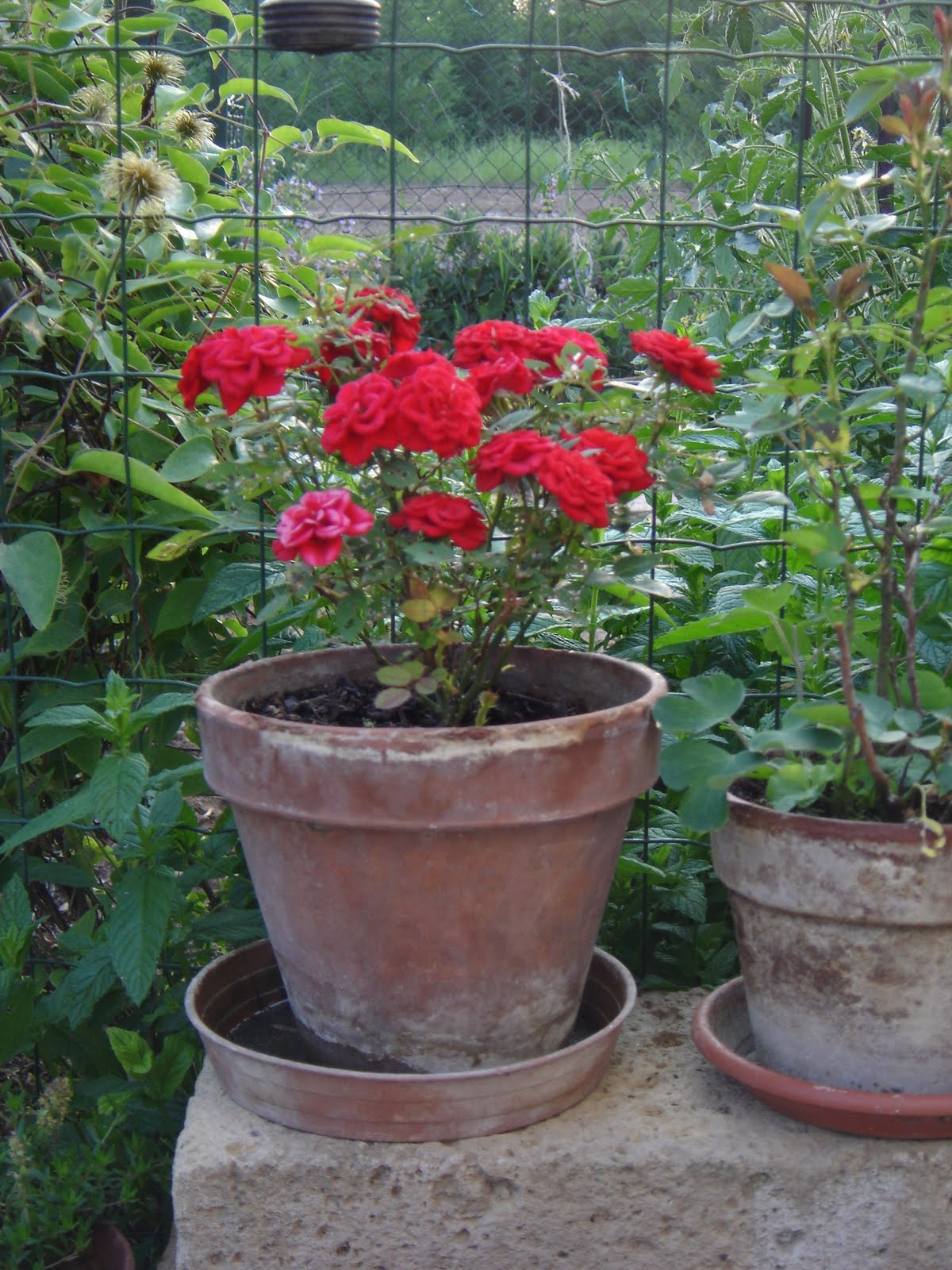 Orti in progress rosa nana for Roselline in vaso