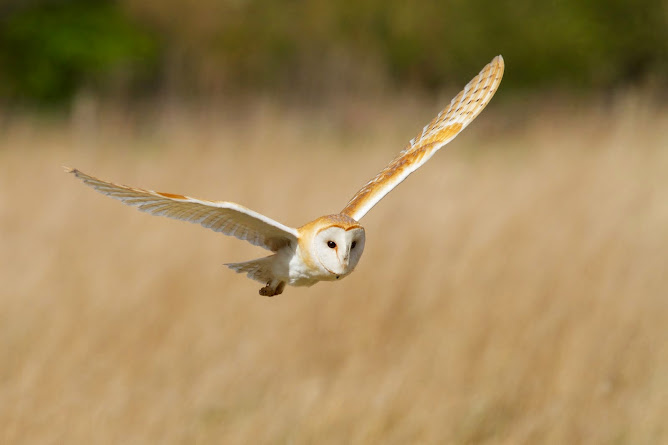 Barn Owl/Tyto Alba
