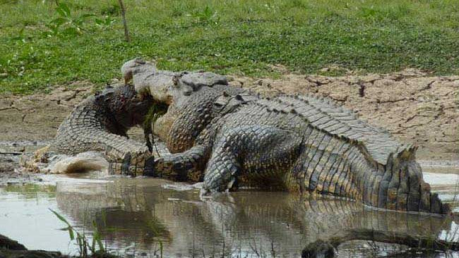 Largest Crocodile Ever Killed This is the biggest croc ever