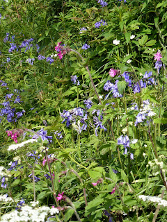 Bluebells, red campion and cow parsley