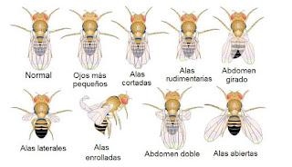 Mutaciones heredables en una abeja