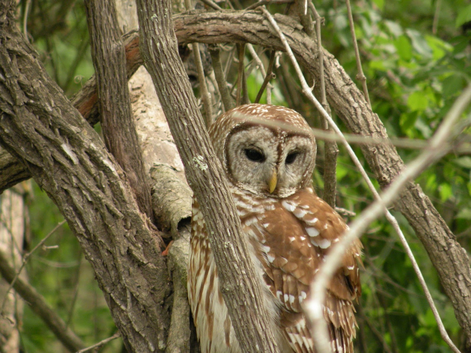 Mary\'s Louisiana Garden: Barred Owl