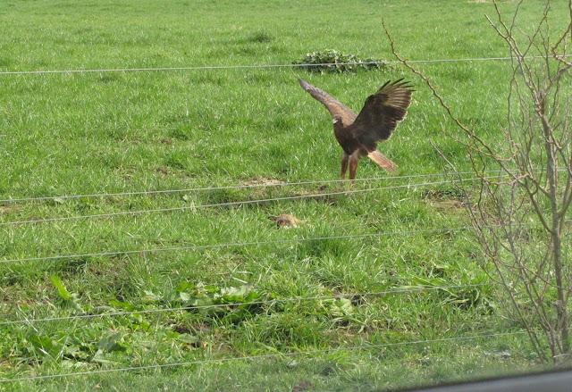 hawk falcon new zealand