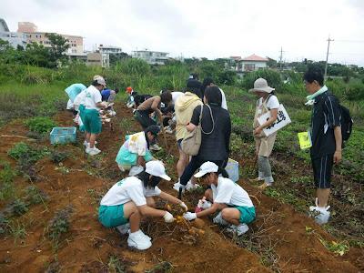 体験/観光 沖縄修学旅行 紅イモ掘り