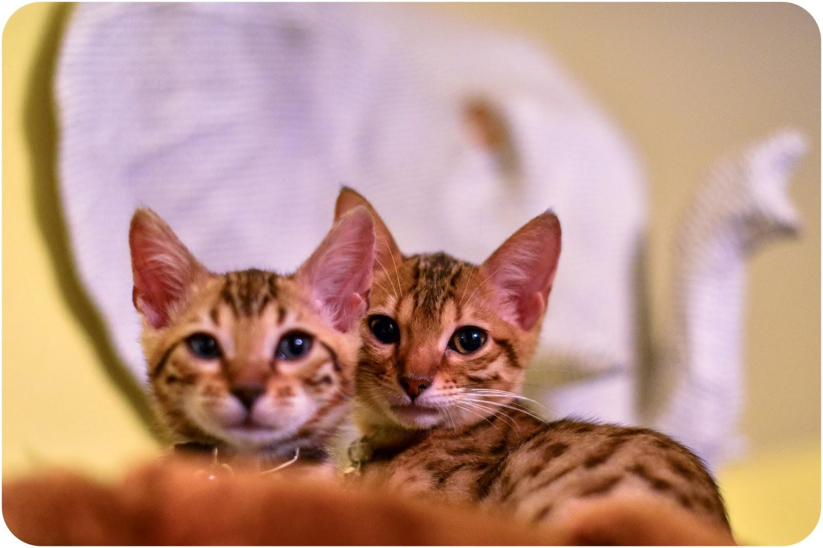 Savannah bengal cat