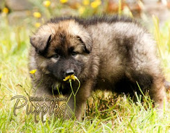 2016 Shiloh Puppy Calendar