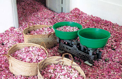 Make Rose Oil