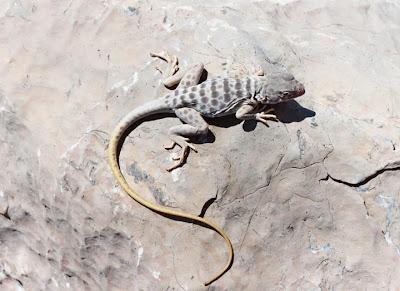 reptiles en peligro de extincion Crotaphytus antiquus