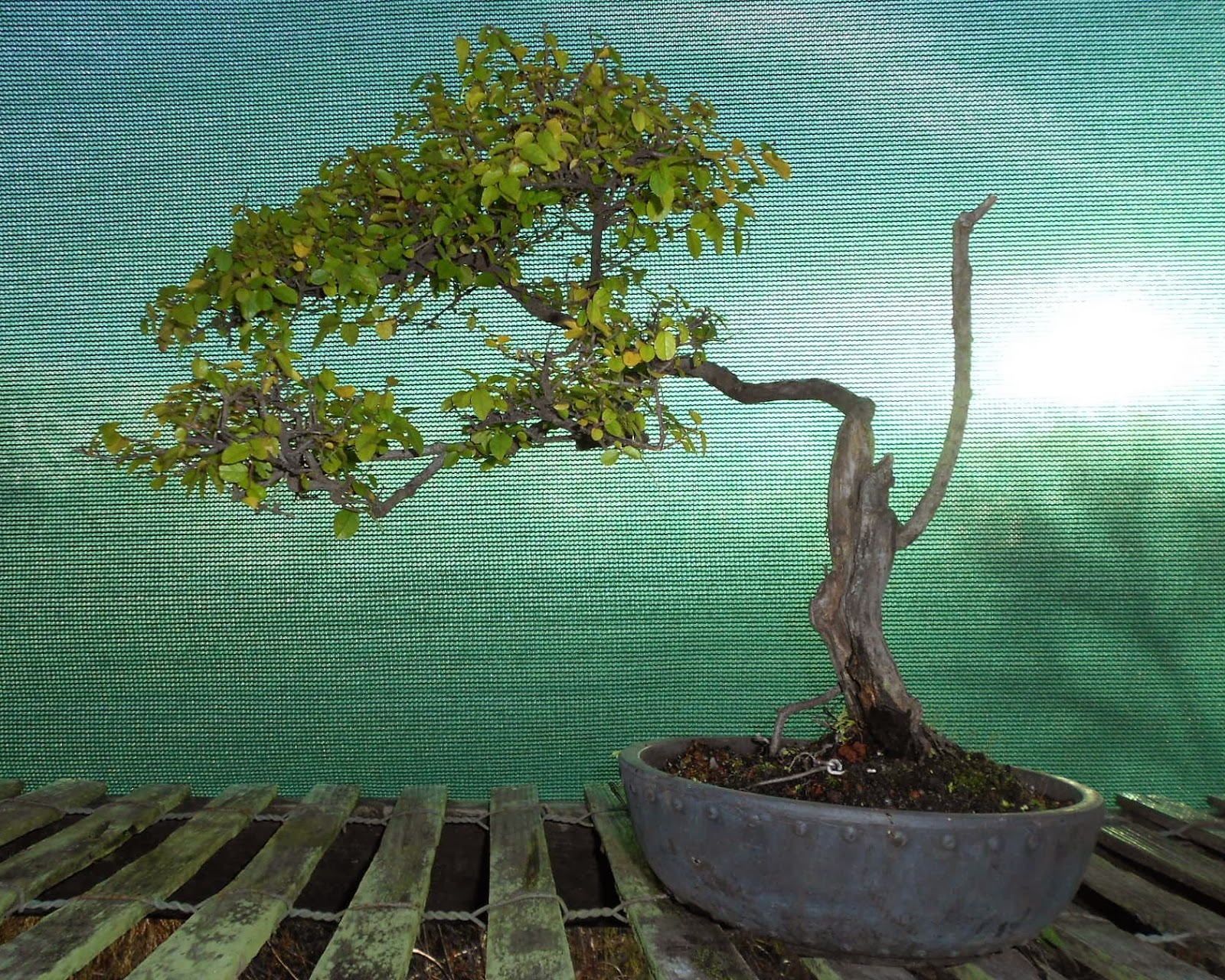 Bonsai Beginnings Chinese Sweet Plum With Fall Foliage