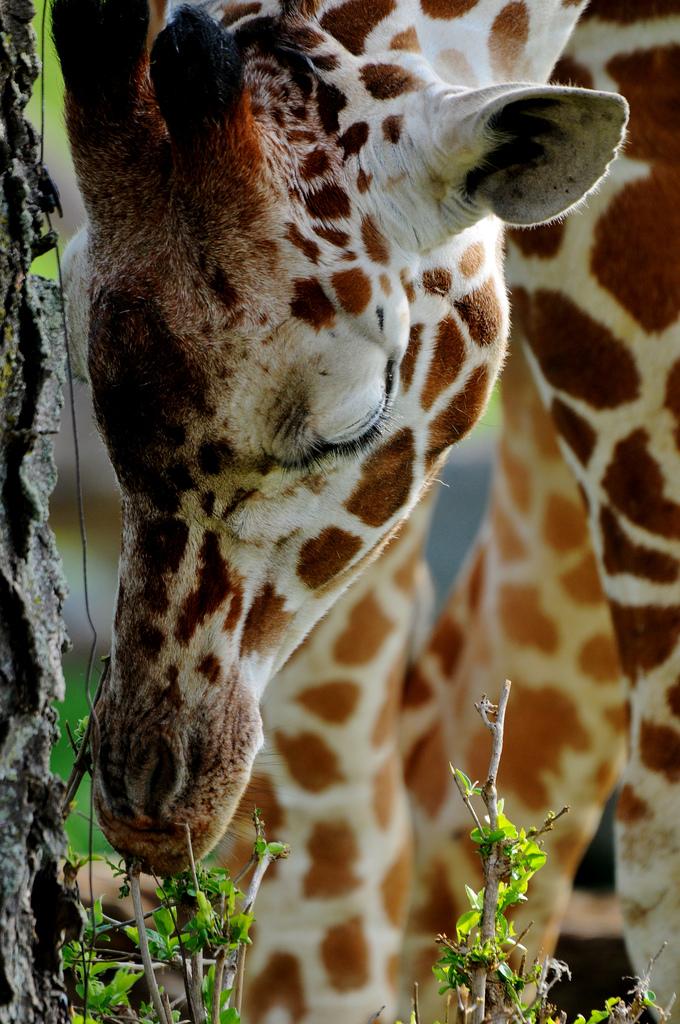 Giraffe poker