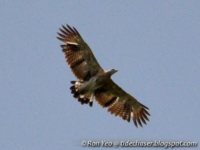 Oriental Honey Buzzard (Pernis ptilorhyncus