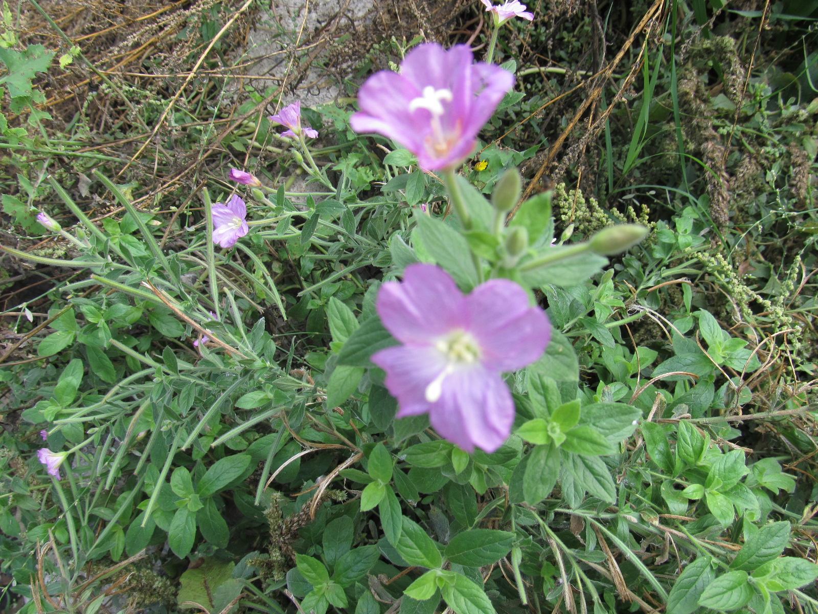 Bazı kır papatyalar sonbahar da çiçek açmaya başlamışlar