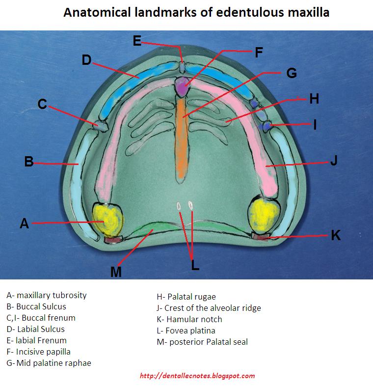 Anatomical Landmarks Mandible Anatomical Landmarks Of Mandible Ppt