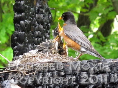 Picture of robin's nest with mama robin checking on three very hungry babies