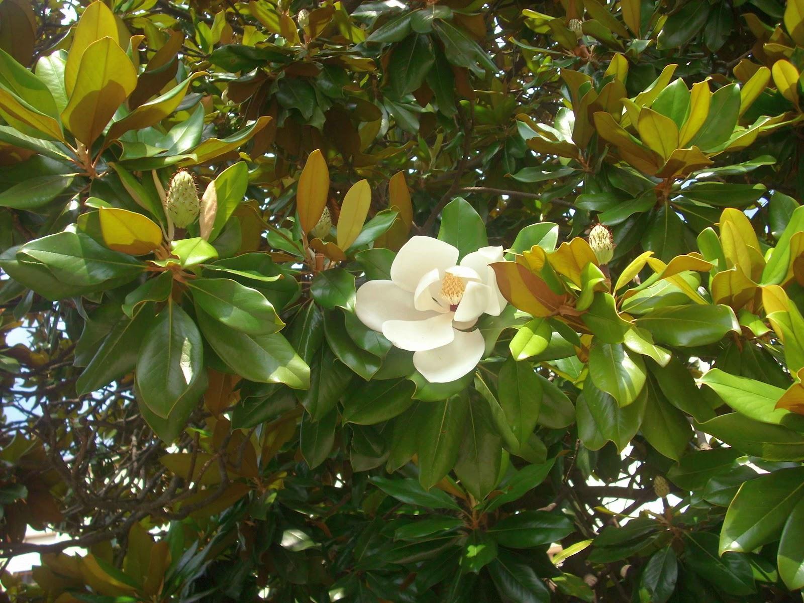 Decorazioni Natalizie Con Foglie Di Magnolia.La Magnolia Grandiflora Arbustum Monsleonis
