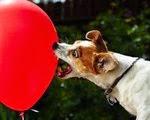Anjing Terbanyak Memecahkan Balon