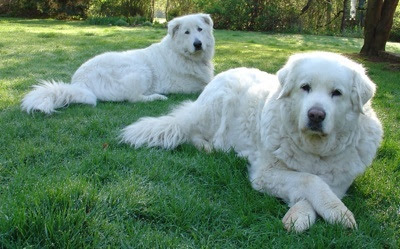how to get great pyreneese to stay with the sheep