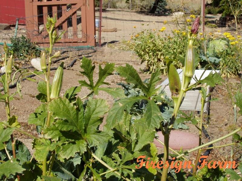 Firesign Farm Growing Okra In Northern Nevada