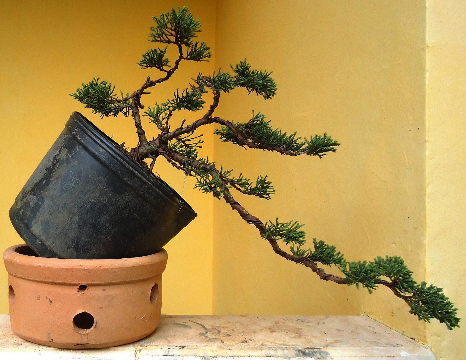 Leonardo Couto Arte Bonsai Shimpaku Descendo A Montanha