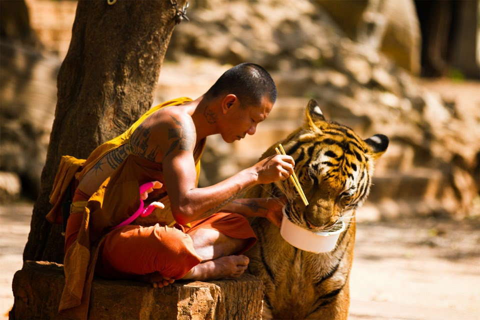 Buddhist shares a meal with tiger