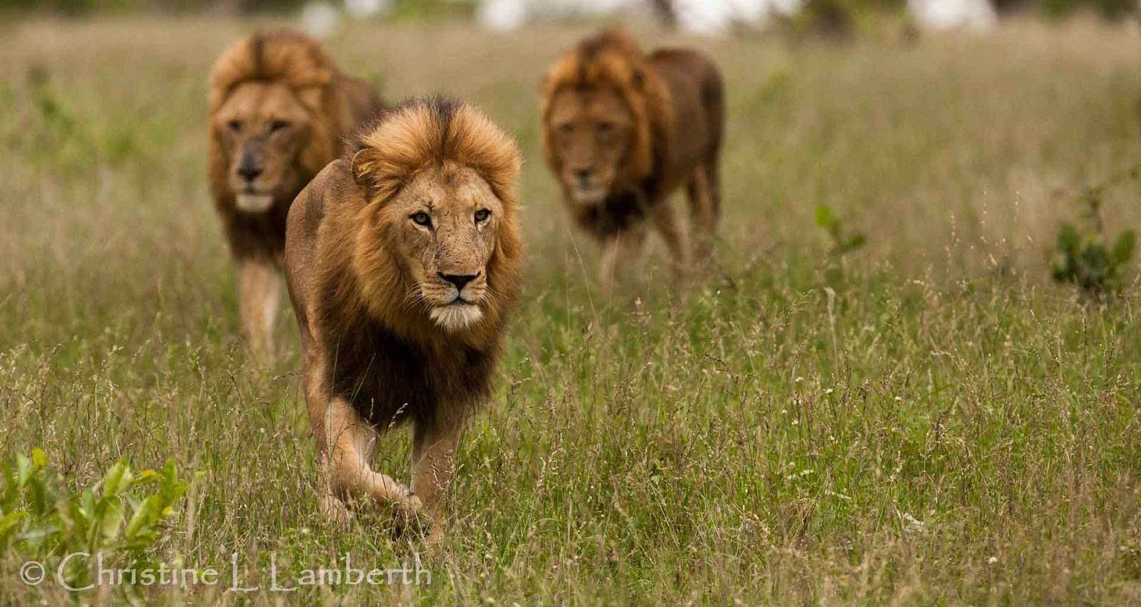Lions walking together - photo#11