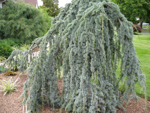 Small Cedar Varieties ~ A guide to northeastern gardening colorful evergreens in