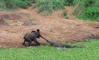 Crocodilo a morder tromba de elefante
