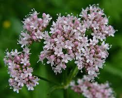 Valeriana officinalis, pianta medicamentosa