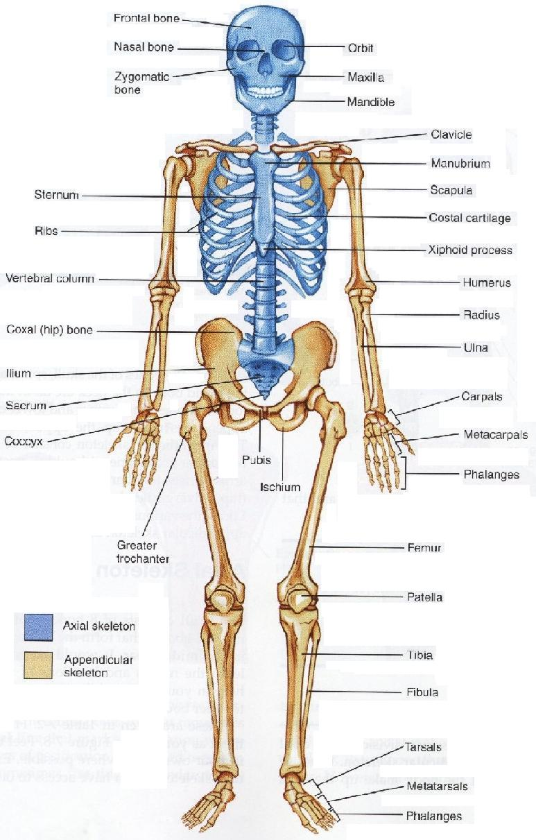 Interesting Facts About Bones ~ Did you know that ?