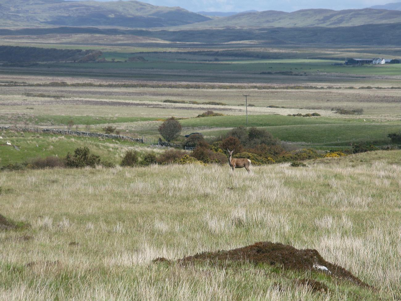 Landscaping Ties Red Deer : Islay natural history trust red deer in an landscape
