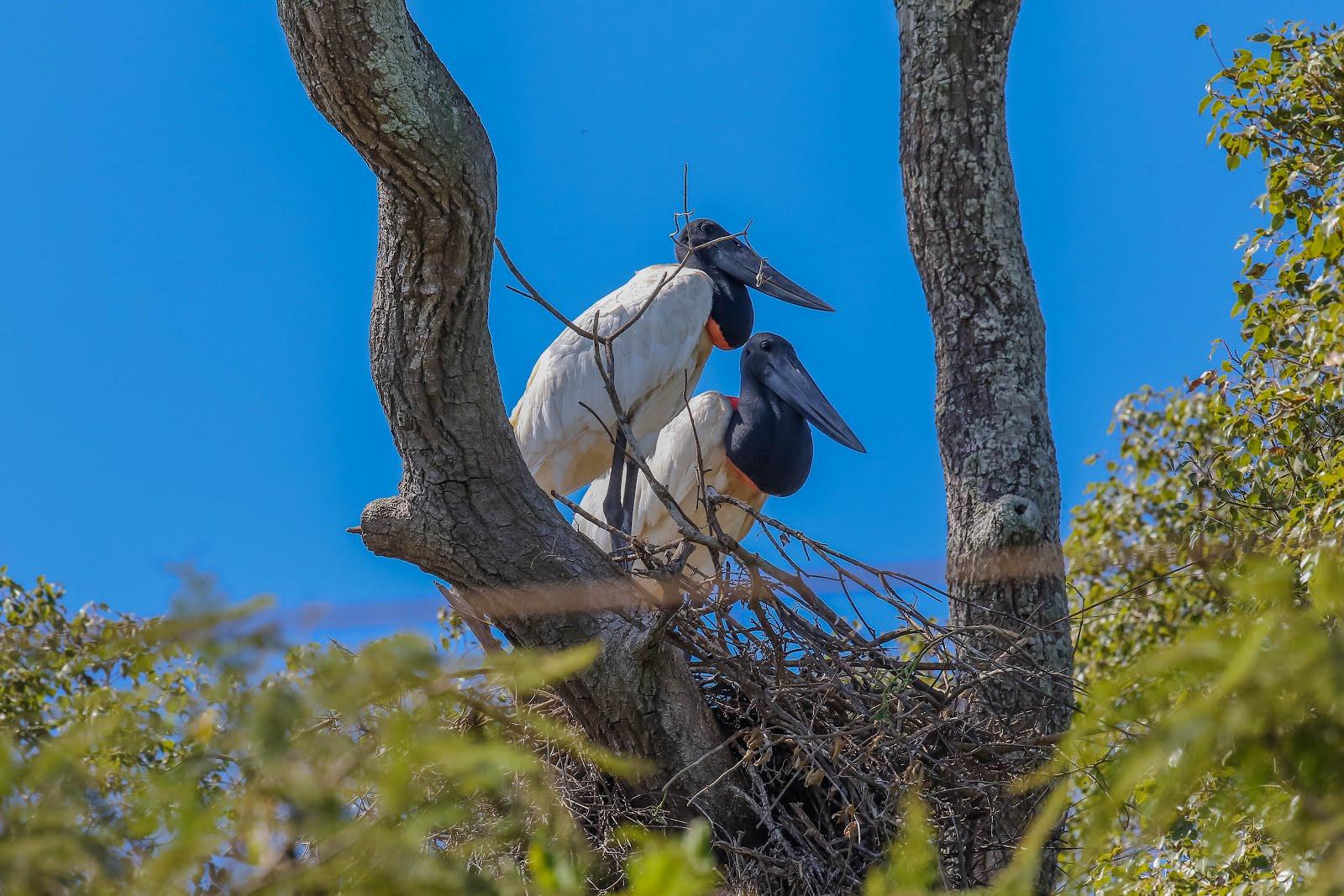POSTER: Tuiuius no Pantanal. Poconé, Brasil.