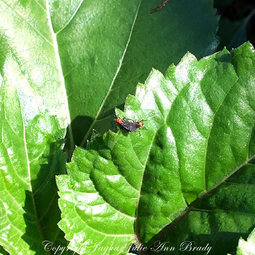 two love bugs on my sunflower leaves