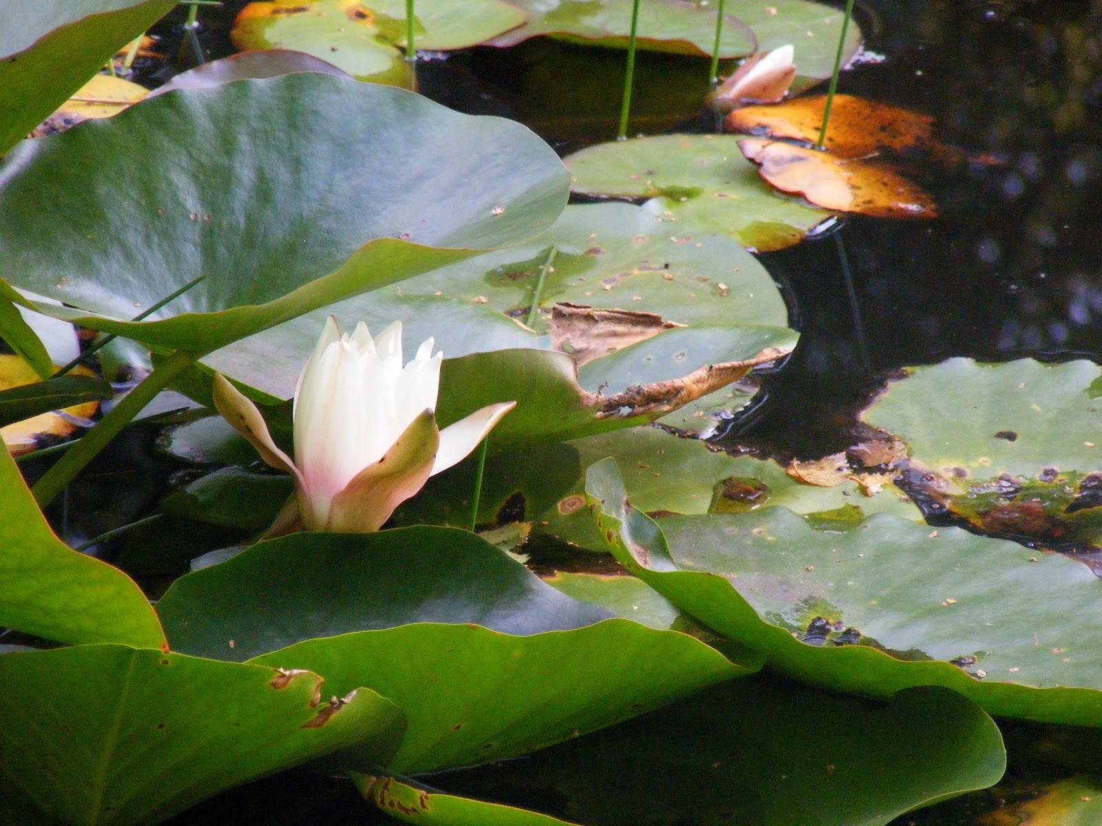 lilia, lily
