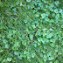 Removing Ground Ivy From Lawns