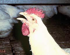 Cara sederhana mengobati ayam ngorok dengan larutan penyegar
