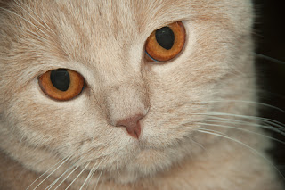 White Cat Face