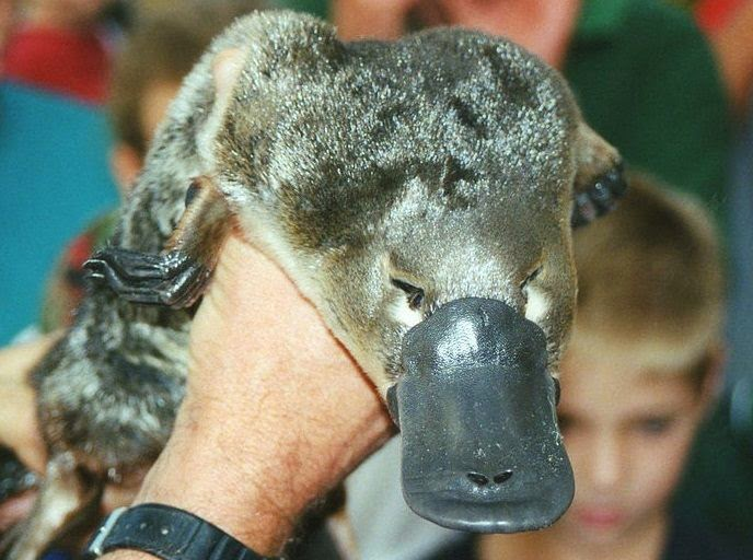 The platypus is one out of just three mammals with electroreception