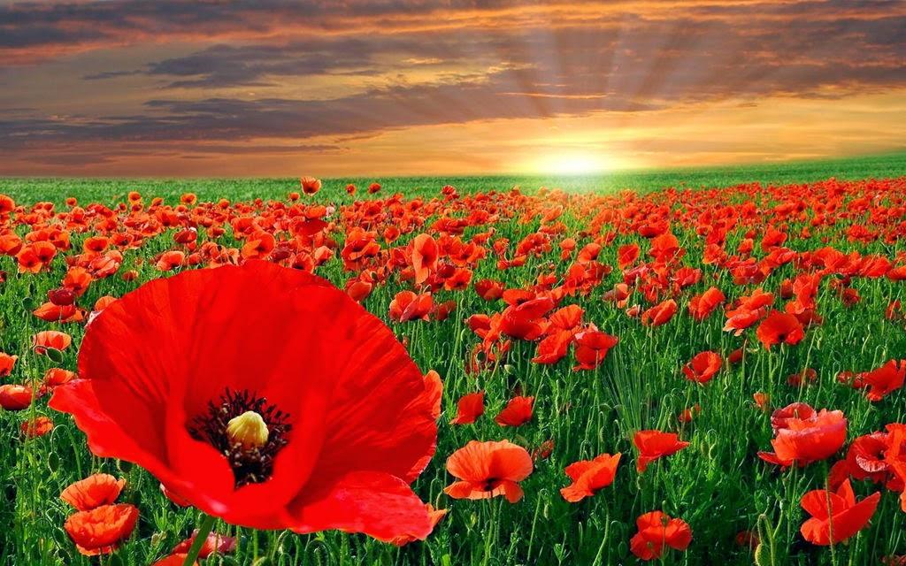 hình nền cánh đồng hoa đẹp nhất