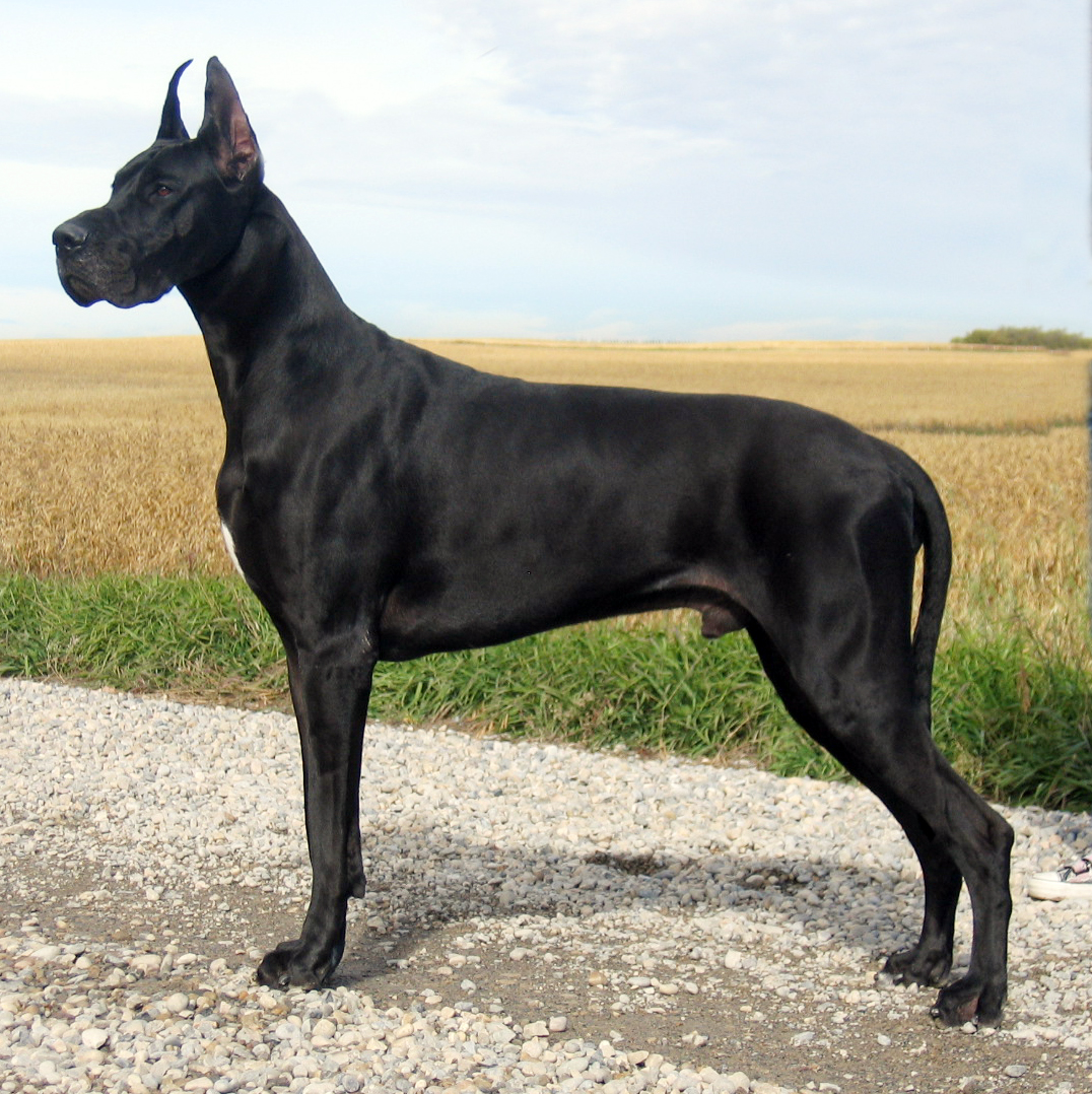 Displaying 16> Images For - Mastiff Great Dane Mix Black...