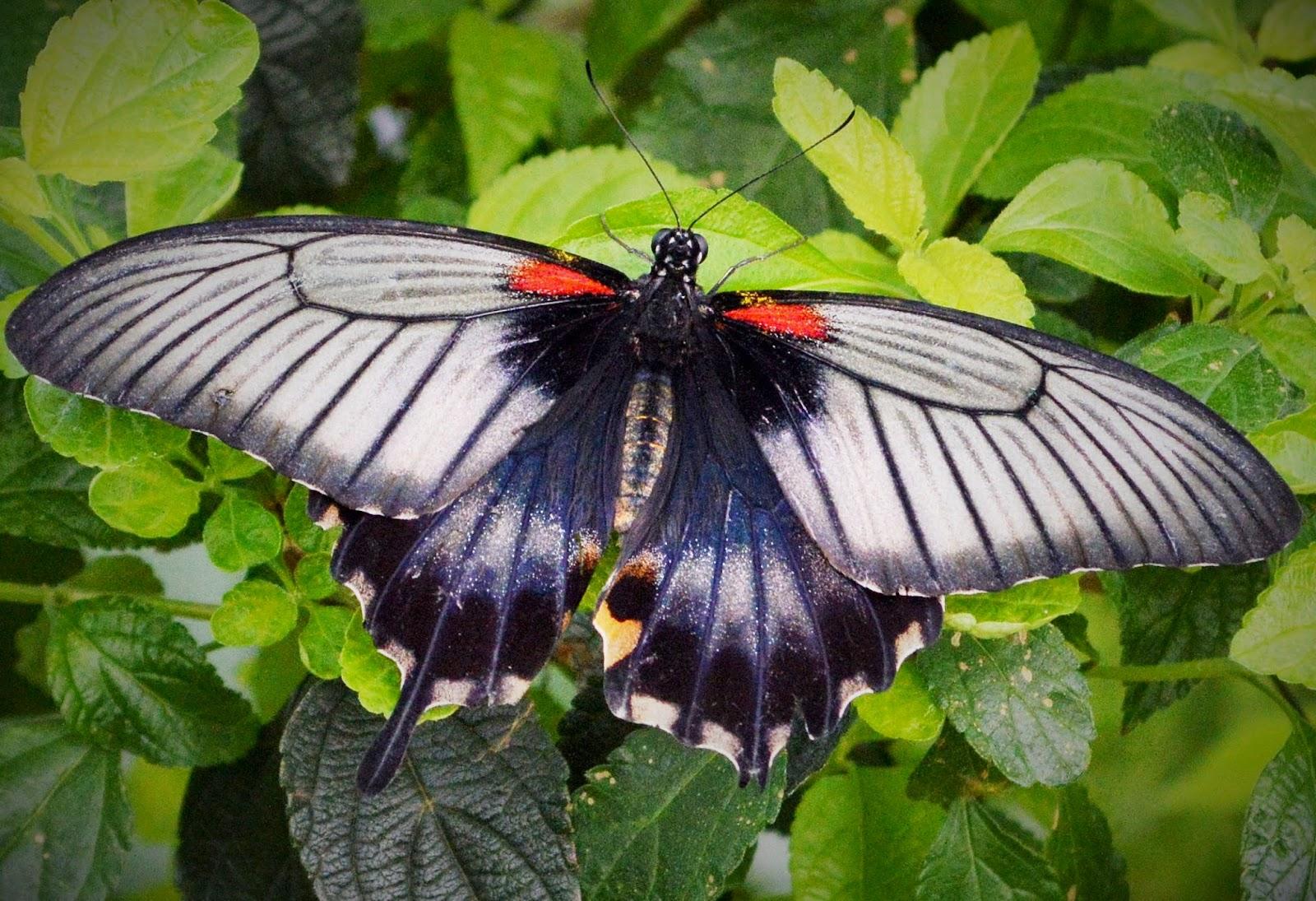 papillons en libert au jardin botanique notre montr alit
